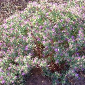 Purple starthistle