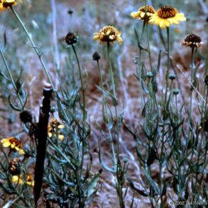 Texas Blueweed