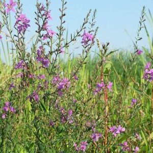 Wand loosestrife