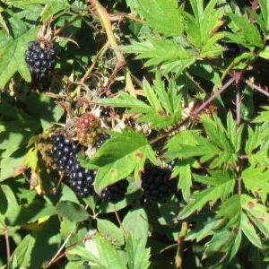 Evergreen Blackberry
