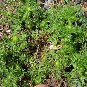 Carpet Burweed