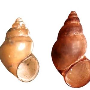 New Zealand Mudsnail