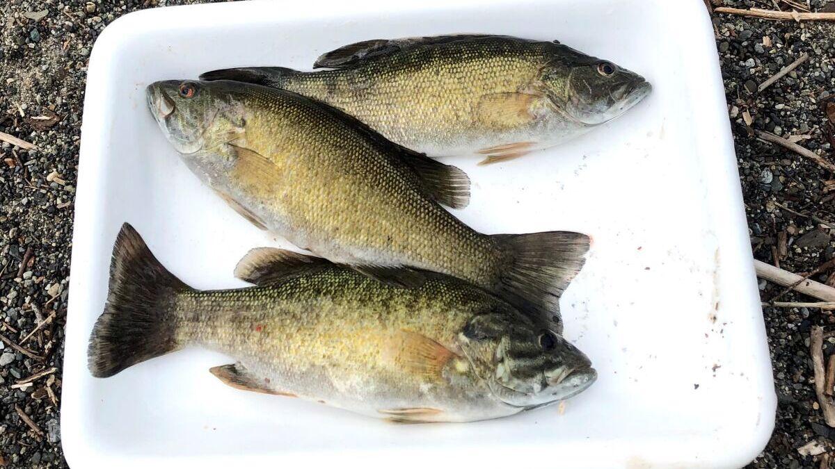 Invasive Smallmouth Bass in Cultus Lake